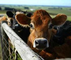 CattleFeature