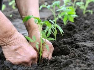 PlantingTomatoes