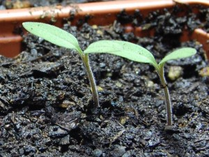 Germinating_tomatos-300x225.jpg