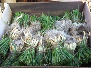 onionslips