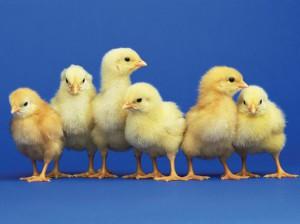 3 Dollar Baby Chicks