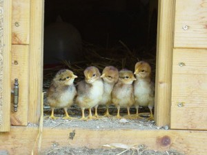 Your Chickens' New Home