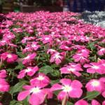 PinkFlowerPlants_CatePhoto