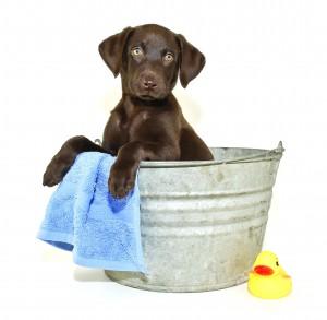 Lab Puppy Getting a Bath