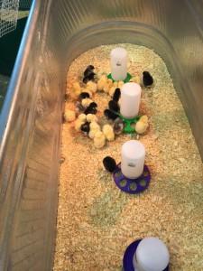 Rare Chick Varieties