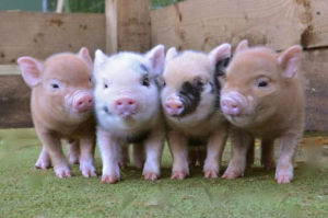 Mini Pigs | Mazuri Exotic Animal Feeds