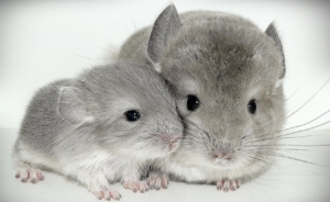 Chinchilla | Mazuri Exotic Animal Feeds