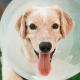 Brown dog wearing a clear plastic animal health cone.