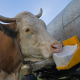 White and brown cow with cattle minerals & supplements block