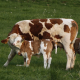 Cow & Calf Feed category image with white and brown cow and calf in green grass