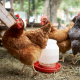 Brown Chickens and Poultry Feeders