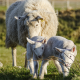 White sheep with two white lamb feeding in a green field for goat and sheep feed category.