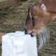 Brown Goat with Mineral Block for Goat Minerals & Supplements