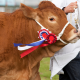 Brown Cow with Winning Ribbon for Grower & Finisher Cattle Feed Category