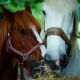 Brown horse and white horse eating hay for horse feed category.