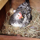 Black and White Chicken in Nesting Box - Layer Feed Category