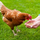 Brown Chicken Eating Poultry Feed From Person's Hands