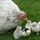 White Hen with Four Chicks on Grass for Starter Feed Category