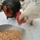 One White Chicken and One White Chicken Pecking Poultry Supplements in Bowl