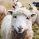 White Sheep in Foreground of Pasture with Other Sheep for Sheep Feed