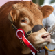 Brown Cow with Red Prize Ribbon for Show Feed Category