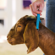 Brown Goat with Blue Collar for Goat Show Feed