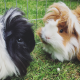 Black and White Guinea Pig with Brown and White Guinea Pig on Grass for Small Animal Feed & Supplies