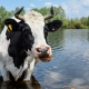 Black and White Cow Drinking at Pond for Stock Tank Category