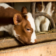 Brown and White Calf Eating Weaned Calf Feed
