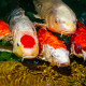Group of White and Orange Koi for Aquatic Feed Category