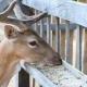 Deer with Antlers for the Deer Feed Category
