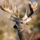 Deer with Large Antlers for Wildlife Feed Category