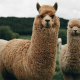 Brown Llamas for Exotic Feed Category Image