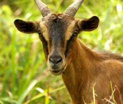 GoatFeature