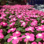 PinkFlowerPlants_CatePhoto