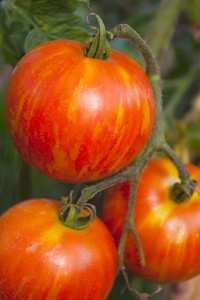 Heirloom tomato growing on the plant