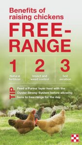 tips for keeping free-range chickens