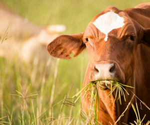 cattle mineral tips for spring